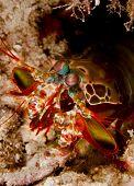 Peacock mantis shrimp (Odontodactylus scyllarus) emerging from its burrow in the sand. Taken on Mabul Borneo Malaysia. poster