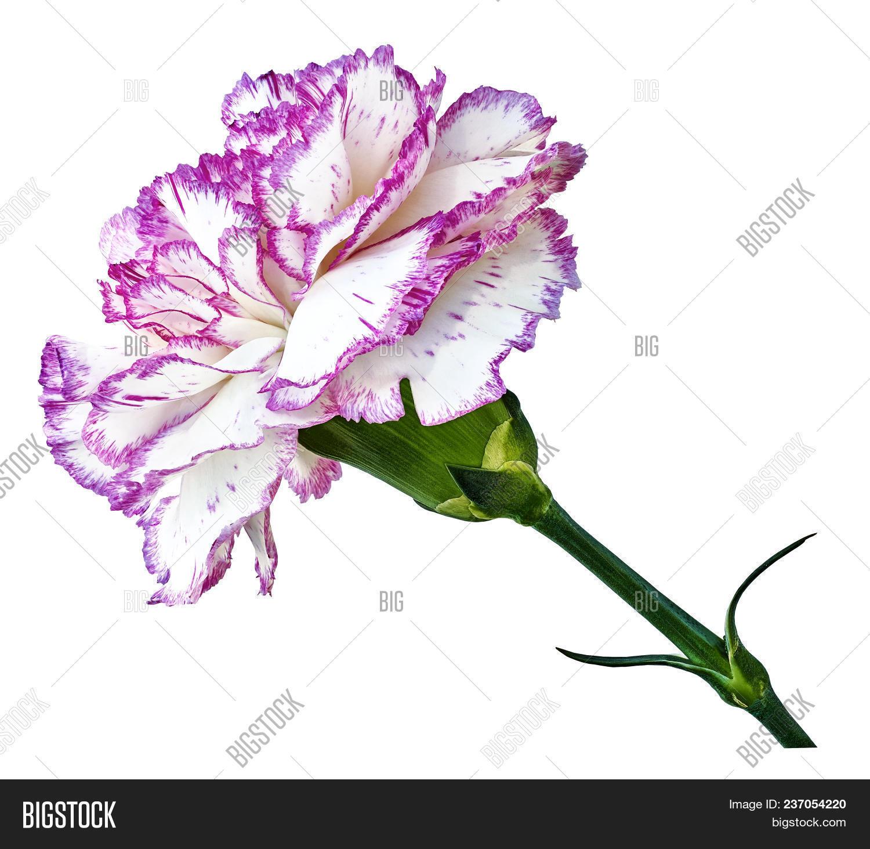 Pink White Carnation Image Photo Free Trial Bigstock