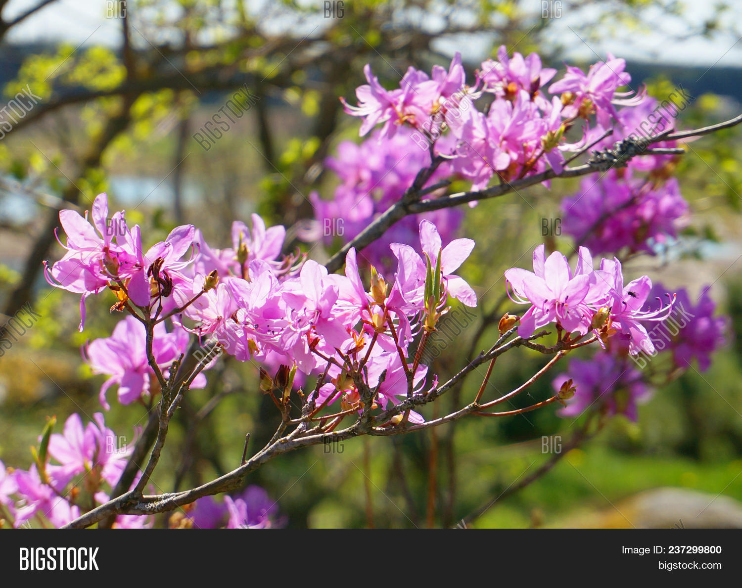 Amazing Magnolia Tree Image Photo Free Trial Bigstock