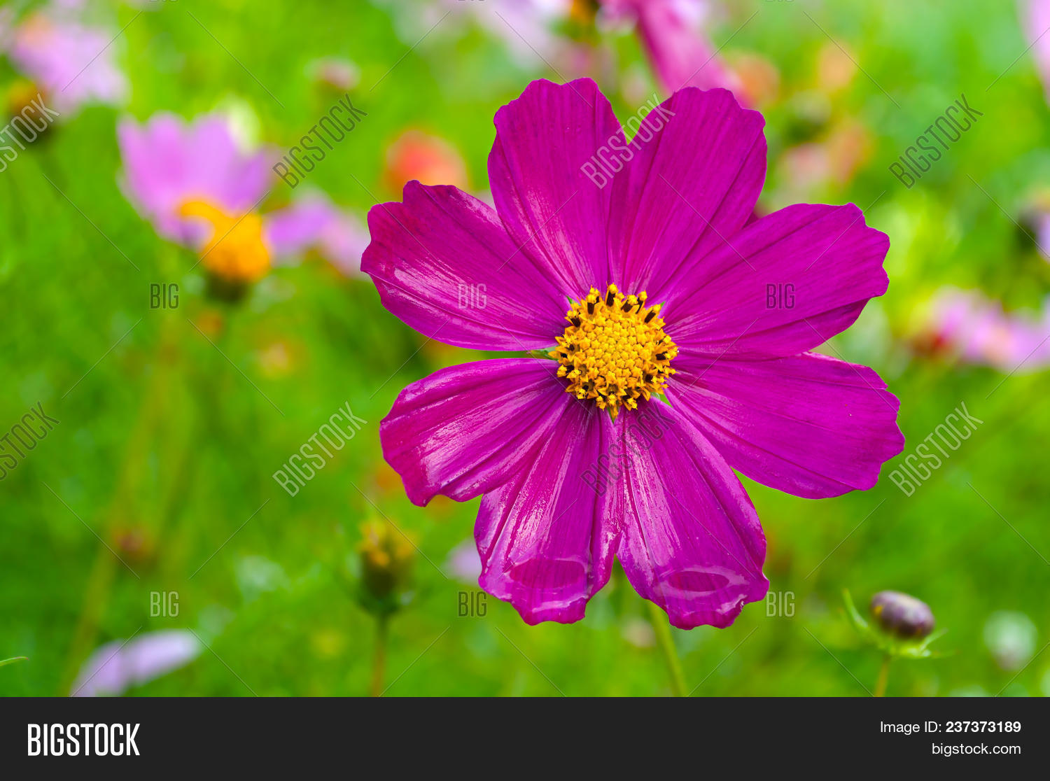 Pink cosmos flower image photo free trial bigstock pink cosmos flower in latin cosmos bipinnatus at the summer garden selective focus mightylinksfo