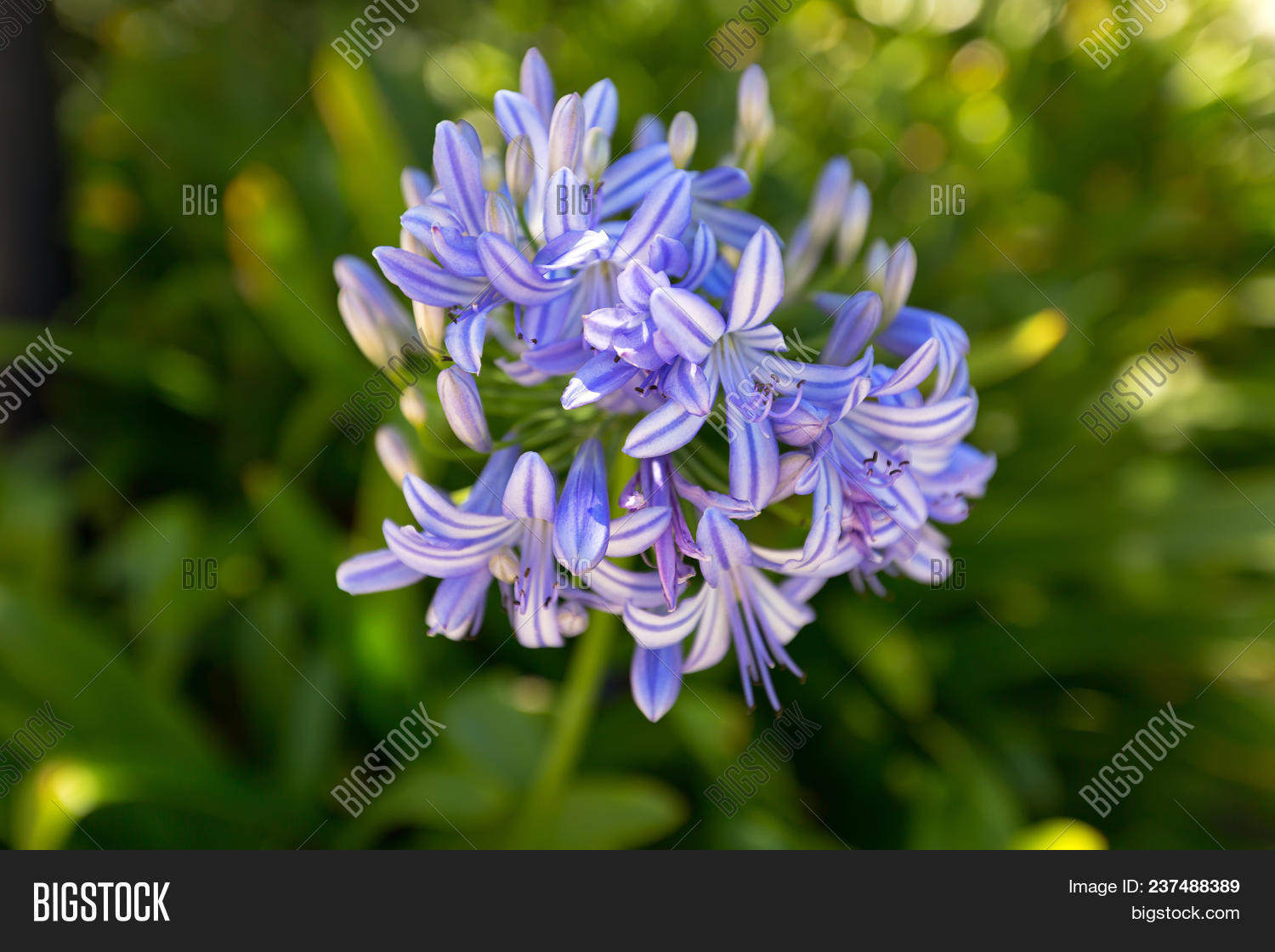 Lily Nile Flower Blue Image Photo Free Trial Bigstock