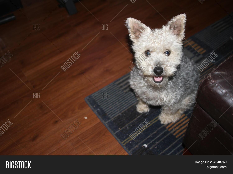 Yorkie Poodle Mix Dog Image Photo Free Trial Bigstock