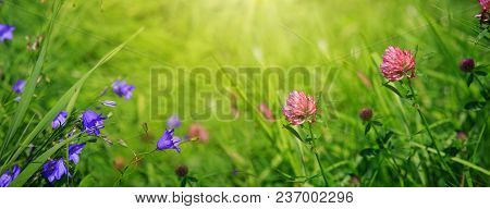 Wild Pink Clover In Green Grass Field. Clover Flowers Field And Blue Bell In Sunset.