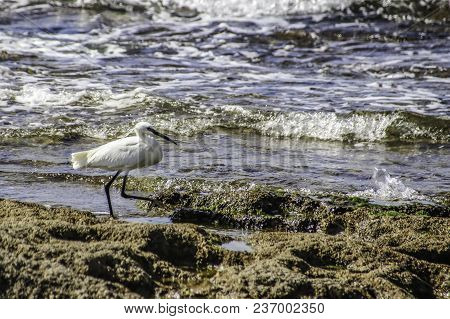 A Small White Egret Looks For Food On The Shore At Low Tide. Mediterranean Sea.