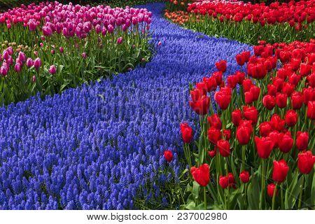 Flowers in garden Keukenhof Netherlands - nature background