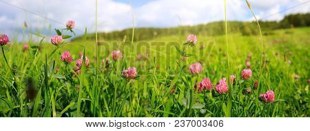 Wild Pink Clover In Green Grass Field. Clover Flowers Field In Sunset.
