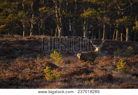 Monarch Of The Spring Glen...a Red Deer Stag Enjoys The Sunny Weather Amid A Glen Of Heather In The