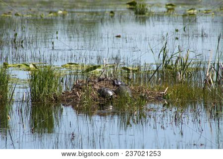 Little Dirt And Vegetation Covered Hill In Middle Of Swamp, Filled With Blanding & Midland Turtles A