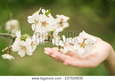 Female Hand Holds A Branch Of Blooming Almond Flowers