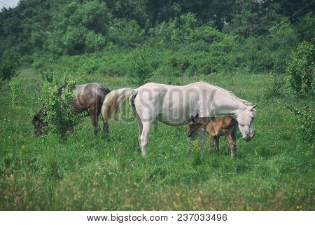 White Horse Mum With Foal And Black Horse Father Graze In The Green Summer Hilly Valley..