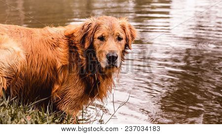 Portrait Of A Golden Retriever Dog Free, On The Outdoors (nature Scene) On The Water Of A Lake