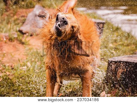 Wet Dog Shaking And Splashing Water Drops All Around.