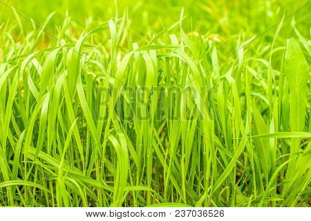Green High Grass. Spring Growth. View Straight