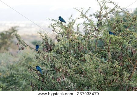 Greater blue-eared starlings (Lamprotornis chalybaeus) resting on the tree twigs
