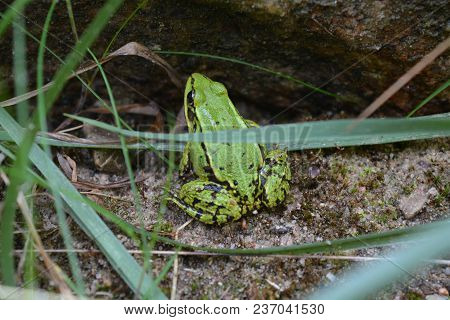 The Green Frog Hides Under The Stone In The Forest