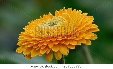 Yellow Dahlia Has Just Bloomed On The Nature