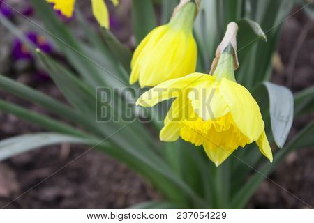 Spring Field Flowers Landscape With Bright Orange Flowers Of Spring Narcissus Under Sunset Light. Se