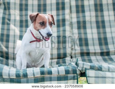 Close-up Portrait Of Cute Dog Jack Russell Sitting On Gray Checkered Pads Or Cushion On Garden Bench
