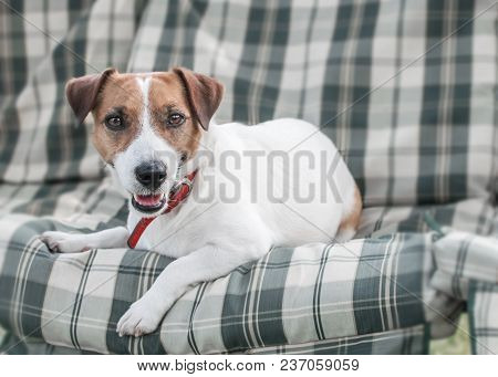 Close-up Portrait Of Cute Dog Jack Russell Lying On Gray Green Checkered Pads Or Cushion On Garden B