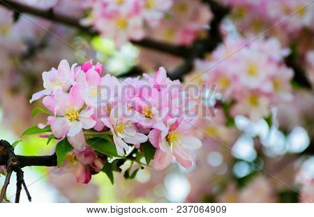 Twig With White Flowers Of Apple Tree On A Blurred Background Of A Garden