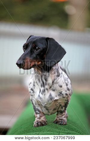 Dachshund Dog Piebald Color Garden Day Light