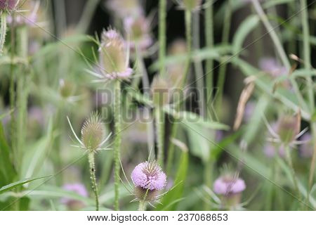 Summer Bloom Of Teasel, Teazel (dipsacus Fullonum). The Members Of This Genus Are Known As Teasel Or