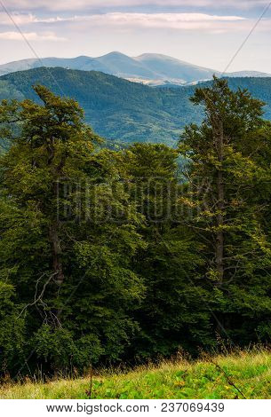 Beech Forest Of Carpathian Mountains In Afternoon. Lovely Nature Scenery In Summertime. Svydovets Mo