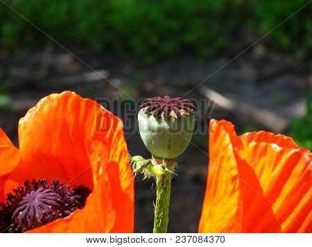 Brilliant Orange Garden Poppies With Their Stigmas Framed With A Fringe Of Stamens. In The Center Is