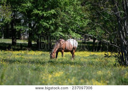 Appaloosa Gelding Grazing In A Spring Pasture Filled With Yellow Buttercups.