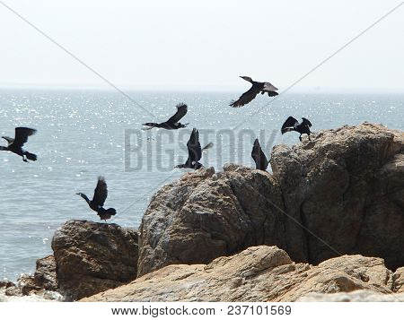 Bering cormorants starting flying from the beach rock on sea and sky background