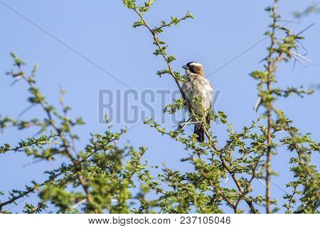 White-browed Sparrowafrican Bush Elephant In Mapungubwe National Park, South Africa ; Specie Plocepa