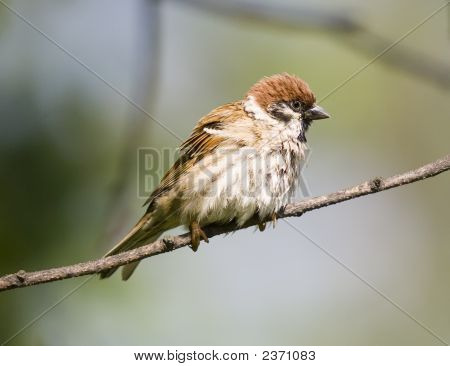 Sparrow on a branch in summer day poster
