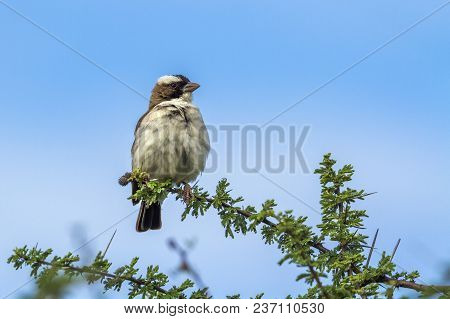 White-browed Sparrow-weaver In Mapungubwe National Park, South Africa ; Specie Plocepasser Mahali Fa