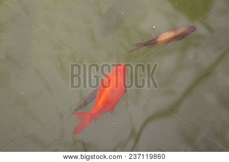 Free Goldfish In The Pond Free Goldfish In The Pond