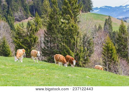 Several Young Natural Bulls Standing In Green Pasturage, Mountain Area, Forest