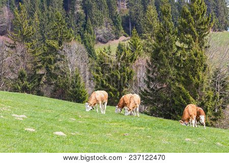 Several Natural Young Bulls Grazing In Green Meadow, Trees, Forest