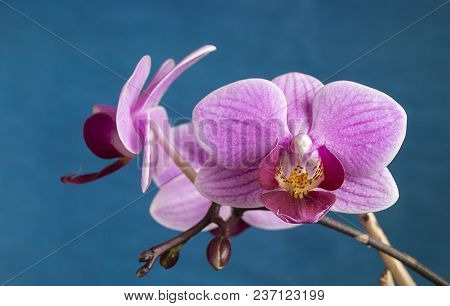 Flower To Decorative Rose Orchid On Turn Blue Background