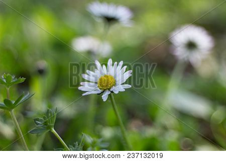 Daisy Daisy (bellis Perennis), Also A Daisy, And Sometimes A Poor, Is A Perennial Medicinal Plant Of