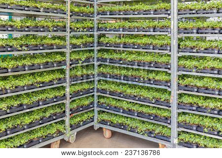 Emmeloord, The Netherlands - April 07: 2018: Greenhouse With Racking System Of Flower Bed Plants In