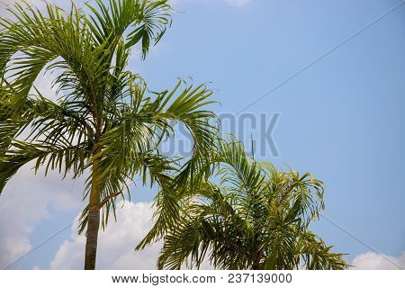 Cloudy Blue Sky And Coco Palm Tree. Tropical Vacation Destination Place. Exotic Island Holiday. Trop