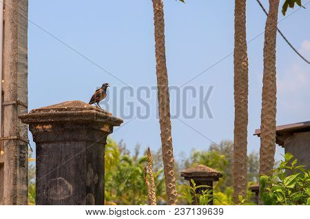 Small tropical bird on stone column in green park. Birdwatching photo. Tropical bird with brown feather and yellow beak. Singing myna at the old rustic pillar. Urban nature of asian city. City bird poster
