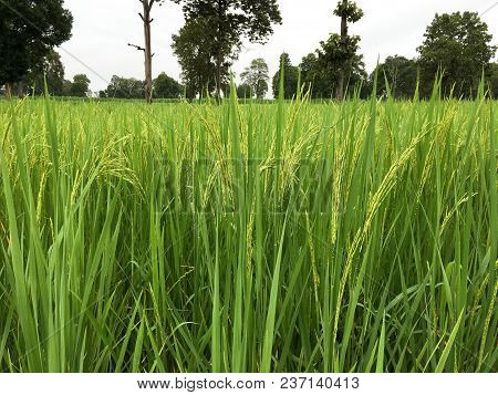 Green Rice Field Planted To Thailand. Rice Fields Planted In Good Terrain Are Perfect. Rice Farm In