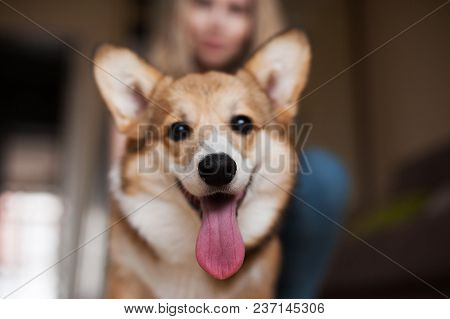 Welsh Corgi Pembroke Puppy, Happy Smiling Dog.