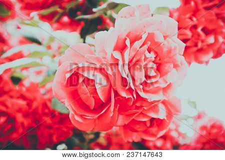 Beautiful Colorful Ginger Rose Flower Blooming Blossom. Photo Depicts Delicate Bright Wild Rose Flow