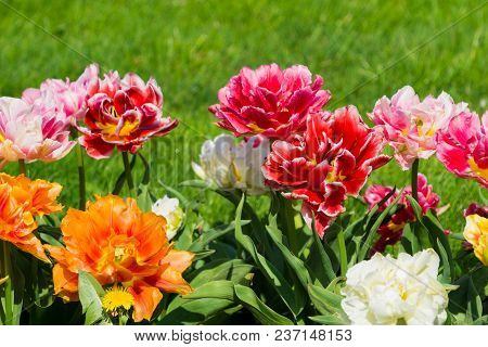 Vierw to beautiful blooming Tulip (Tulipa) Flowers on a green Meadow in Spring. Close-up of colorful Tulips in the Light of the Spring Sun. Beautiful blooming Tulip Flowers on a sunny Spring Day. Blooming Spring Flowers.