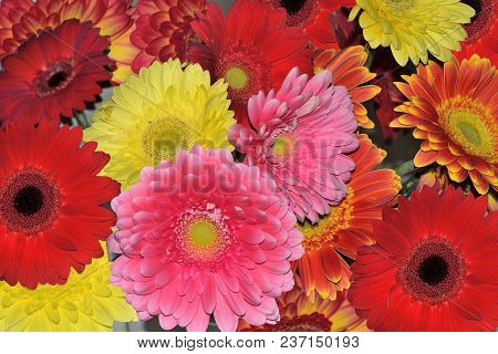 Beautiful Floral Background Of Different Colorful Gerberas Close Up. Concept Of Festive Bright And J