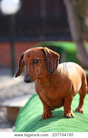 Dachshund Dog Spring Season Garden Day Light