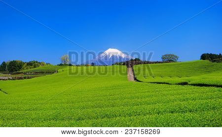 Fresh Green Tea Field Of