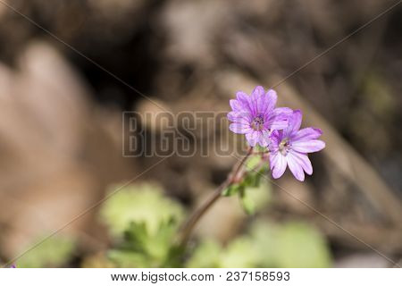 Pink Geranium Molle A Spring Flower In A Soft Background Composition