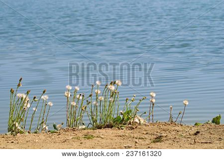 Yellow Dandelions On The Beach With Water Surface On Background.